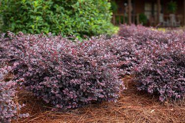 Lagerstroemia, Plant Introductions, Inc. Crimson Fire™ Fringe Flower