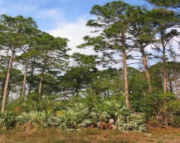 203, Native Pines, host 203 species