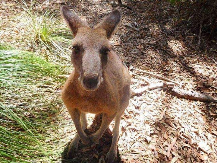 Los canguros son marsupiales que se encuentran en Oceanía más específicamente en Australia. Son los únicos animales grandes que se desplazan dando saltos. La velocidad de desplazamiento confortable del canguro rojo es de 2025 km/h pero puede alcanzar velocidades de hasta 70 km/h en distancias cortas y puede mantener una velocidad de unos 40 km/h por casi 2km.    Morisset NSW Australia    No te pierdas ningún posteo: Activa las notificaciones desde el menú de mi perfil!    Facebook…