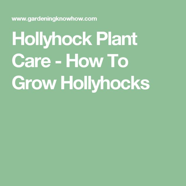Hollyhock Plant Care - How To Grow Hollyhocks