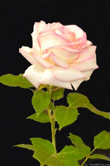 Diamond Design ~ Hybrid Tea Rose