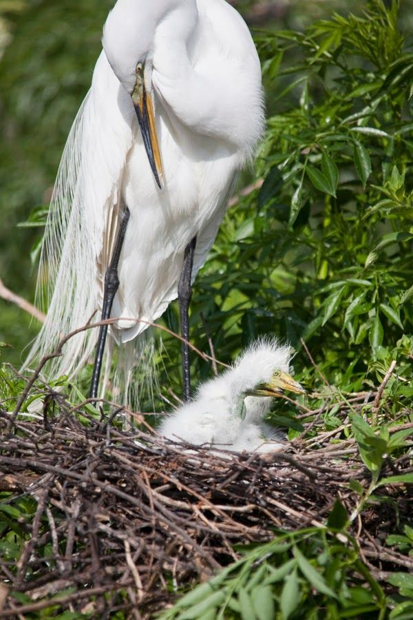 A Photo in the life of: Another Great Egret