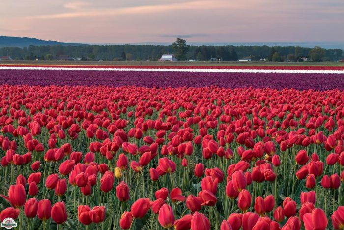 This Breathtaking U S Tulip Field Is Like Something From A Dream