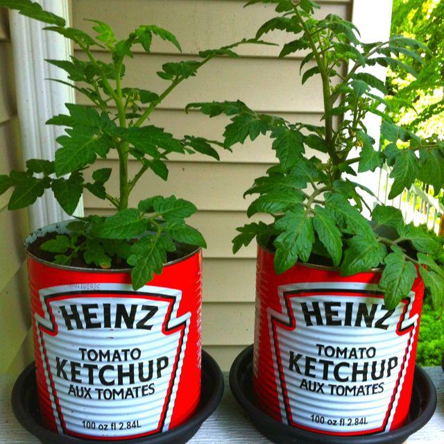 Att odla egna tomater är lätt som en plätt! • Köp din ekologiska favorittomat • Skiva så många tomater du vill • Lägg skivorna i en kruka, med lite jord över skivorna, och vattna • Lägg lite plastfolie över, med hål så det kommer in luft • Vänta och bli inte avskräckt av ludd •…