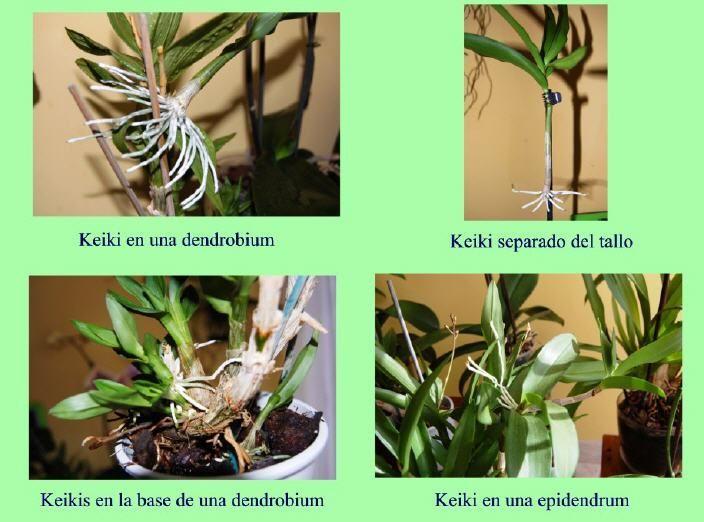 Cuidar las Orquídeas en casa - Página con info muy buena y detallada