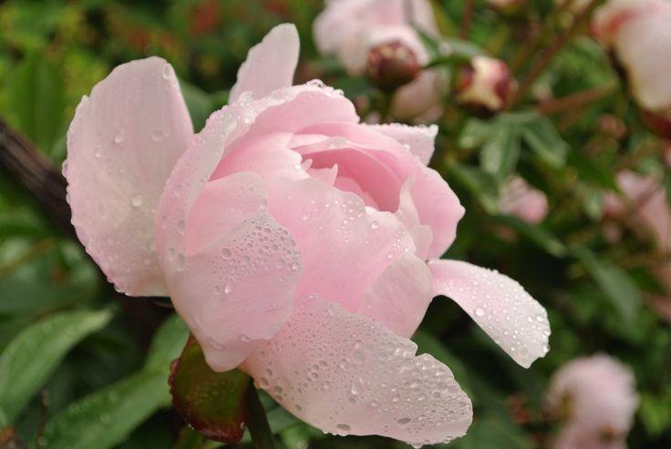 Ruusu sateen jälkeen