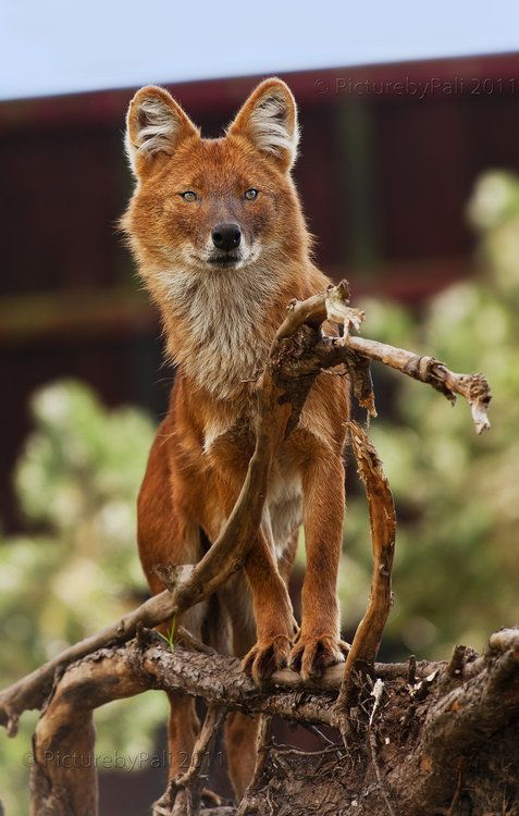 The dhole, also called Asiatic wild dog or Indian wild dog, south and southeast Asia