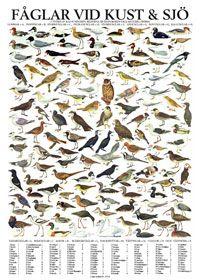 Fåglar vid kust och sjö, poster