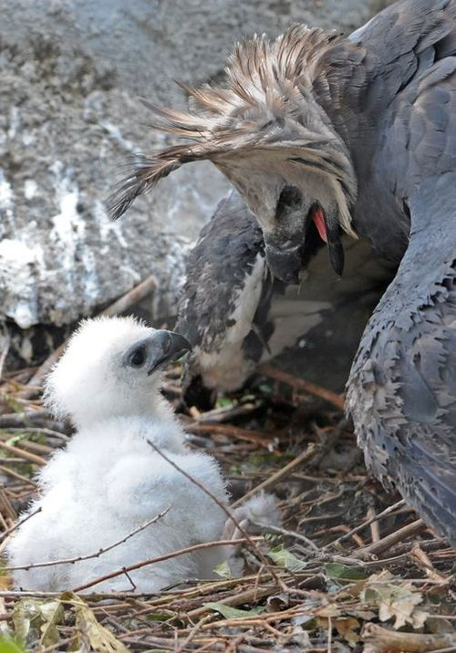 "HARPY EAGLE MOM & HATCHLING ___Harpy Eagles (Harpia harpyja) are iconic to the Rain Forests of Central & South America. This species is One Of The Largest & Most Powerful Birds Of Prey In The World. They are Rated ""NEAR THREATENED"" on the IUCN Red List"
