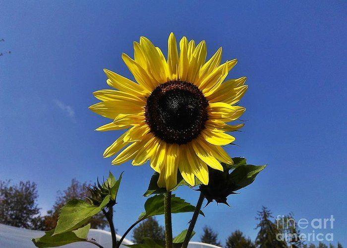 Sunflower Greeting Card featuring the photograph The Shining Sunflower by Erika H