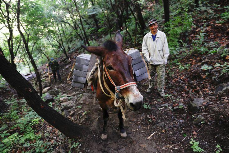 """<p>Un hombre caminando detrás de la mula que carga ladrillos por el camino que lleva al tramo Jiankou de la Gran Muralla, situado en el distrito Huairou, al norte de Pekín, China, el 7 de junio de 2017. """"El camino es demasiado empinado y las montañas son demasiado altas, por lo que solo se pueden transportar los ladrillos con mulas"""", dijo el dueño de una mula Cao Xinhua"""" (Foto: Damir Sagolj / <em>Reuters</em>). </p>"""