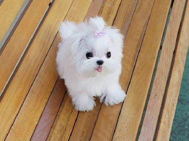 mini maltese puppy for sale | Zoe Fans Blog