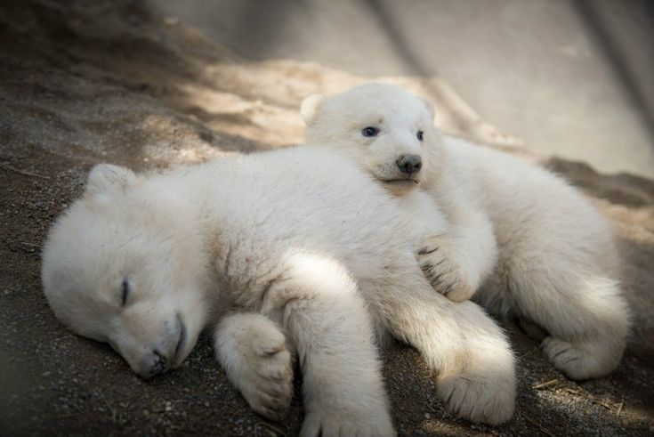 Twin polar bear cubs celebrate first birthday at Columbus Zoo | WBNS-10TV Columbus, Ohio | Columbus News, Weather & Sports