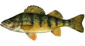 Yellow perch fish pinterest yellow for Yellow perch fishing secrets