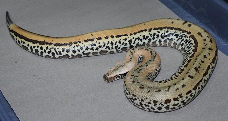 Beautiful pixel blood python