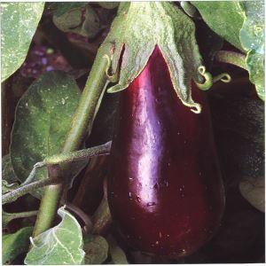 Klus-info.nl Alles over de Aubergine (Solanum melongena) » Meer bloemen en planten op Klus-info.nl