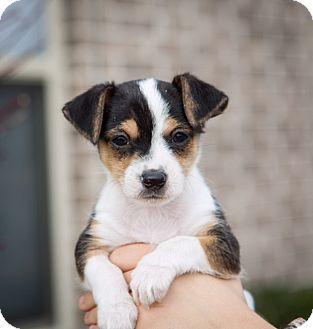 Brattleboro, VT - Chihuahua/Jack Russell Terrier Mix. Meet Bandit, a puppy for adoption. http://www.adoptapet.com/pet/17794274-brattleboro-vermont-chihuahua-mix