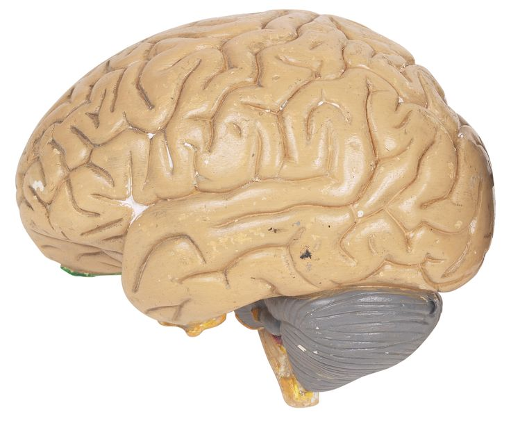 Qual parte do cérebro humano é responsável pela memória