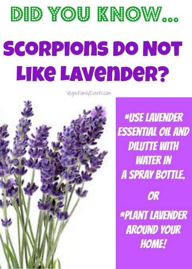 Lavender for Scorpions and getting rid of scorpions