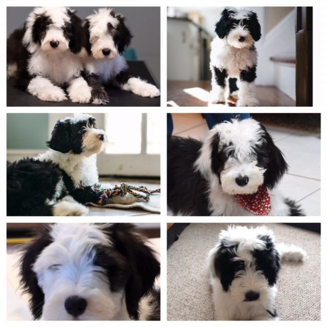 230 best images about old english sheepdogs sheepadoodles on pinterest sheep dogs the. Black Bedroom Furniture Sets. Home Design Ideas