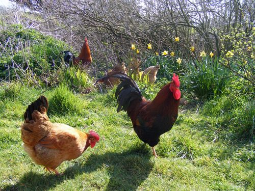 Our hens are allowed to free range across our garden for most of the year, effectively clearing it of bugs and pests, only being contained within a large run when the garden is looking its best and the vegetable garden is at its most productive...