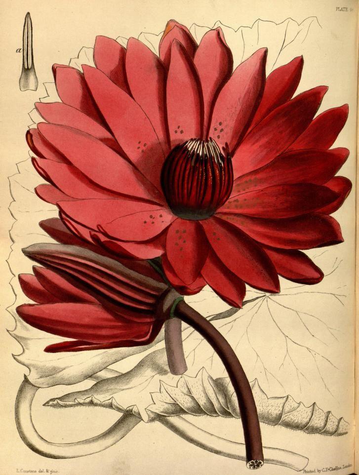 Nymphaea devoniensis. Paxton's flower garden v. 3. London : Bradbury and Evans, [1850]-1853. Biodiversitylibrary. Biodivlibrary. BHL. Biodiversity Heritage Library
