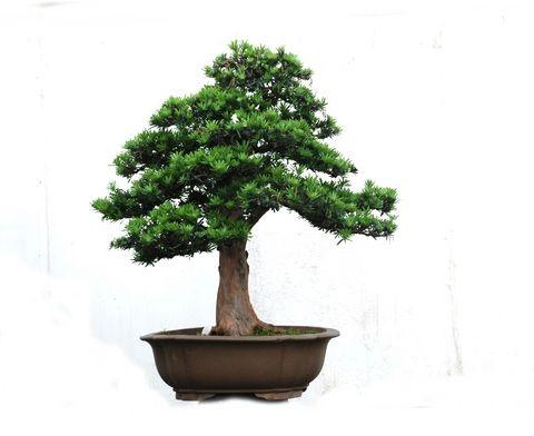 The mighty podocarpus bonsai