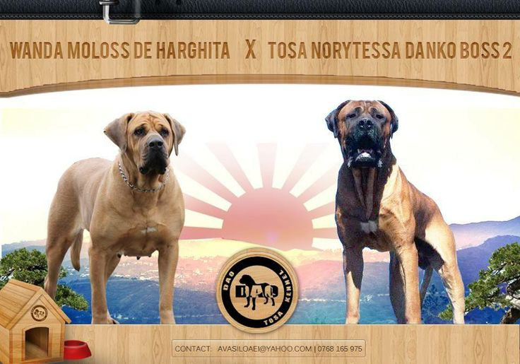 Tosa Norytessa Danko Boss 2 nd (father) and Wanda Moloss de Harghita- Shiba (mother)  The puppies will be born at the beginning of July  #tosa #tosainu #dogs