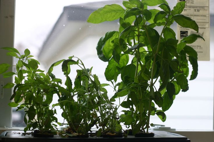 21 Best Hydroponic Tomatoes Images On Pinterest 400 x 300