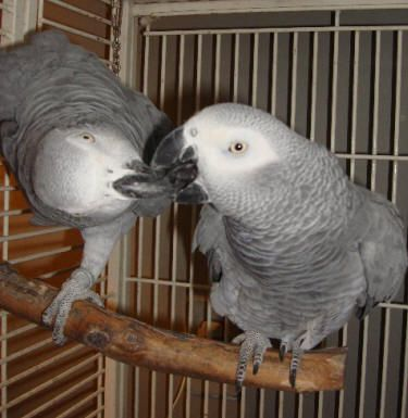 Differences Between Male & Female African Grey Parrots