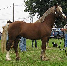Welch Pony....I say reminds me of LITTLE BIT.....%$*^& horse!!!! Biter....ugh