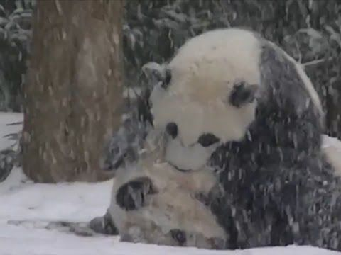 Bao Bao The Panda at the National Zoo in D.C. Yesterday was her first encounter with snow, and she's clearly enjoying it. (No sound, BTW.)