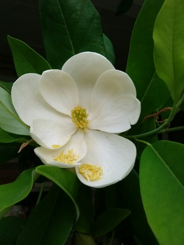 1000 Images About Magnolia Trees On Pinterest Trees