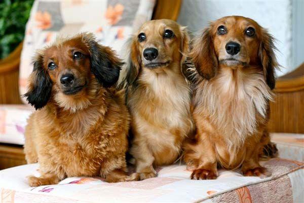 Longhaired dachshunds