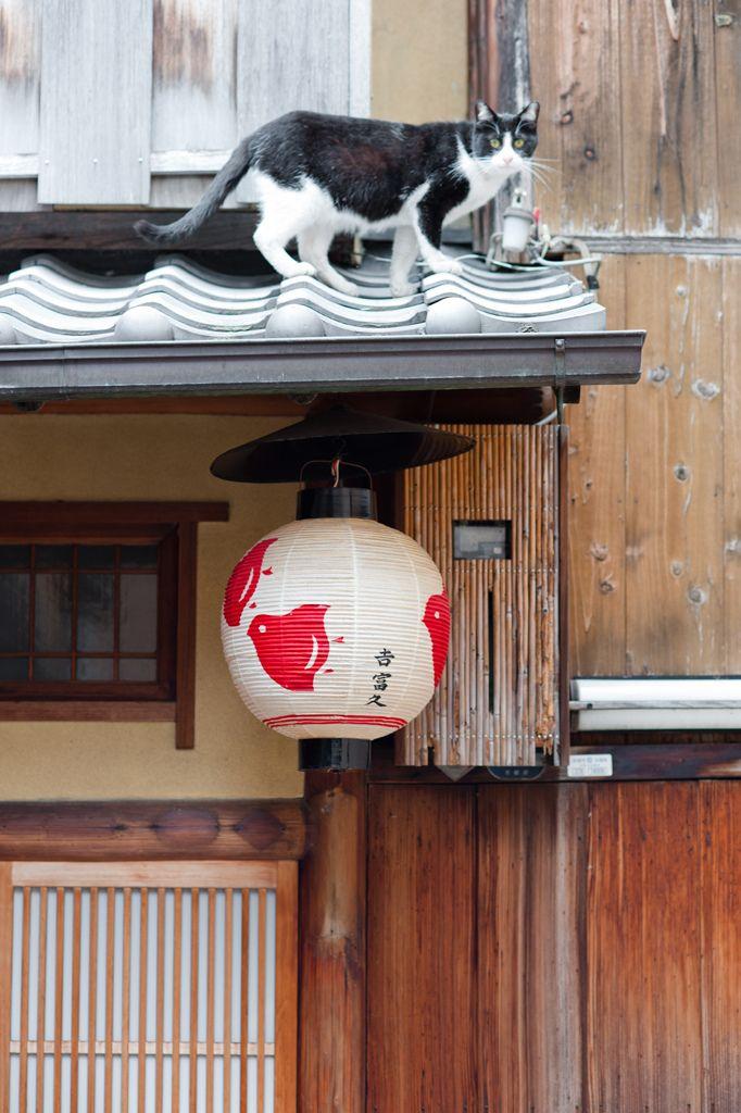 Kyoto   Chat du quartier de Pontocho.   Auteur : Gaïl L