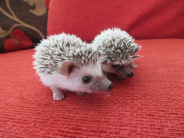 Cute African Pygmy Hedgehog | Cute Baby African Pygmy Hedgehogs For Sale