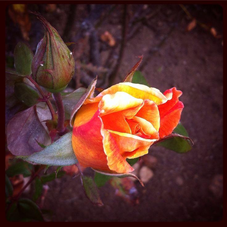 Rosa del jardín en Los Ceibos, Viña. #rosa #rose