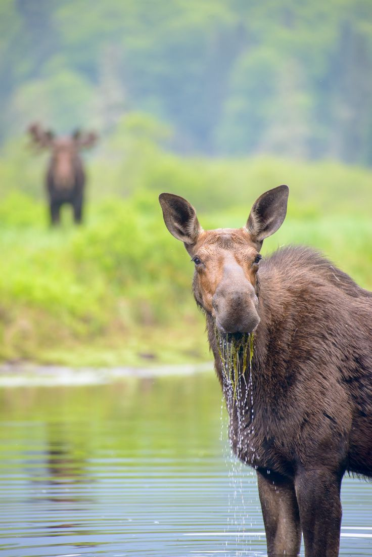 888 best moose in maine mostly images on pinterest moose wild