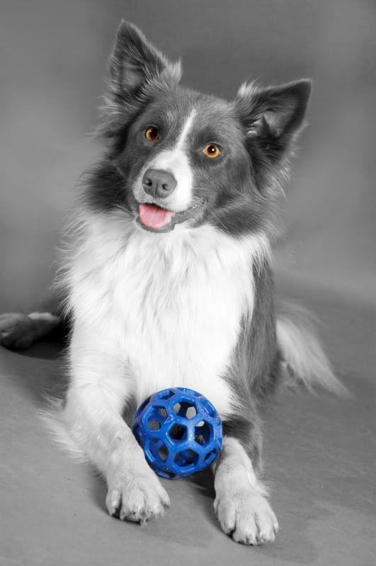 "This is NOT a ""blue border collie."" It is, however, a beautifully photoshopped pic of a border collie."