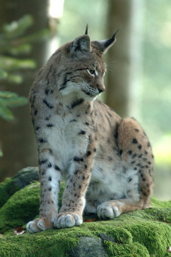 The Prince's cat, Eclipse (Eurasian lynx. That's right, a Lynx exploring the castle XD). She roams through the castle and usually gets lost.
