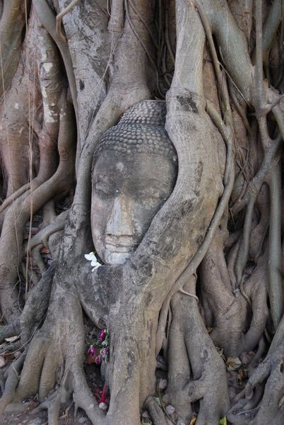 Buddah head wrapped in tree roots  This is one of the most photographed sites in Ayuthaya.
