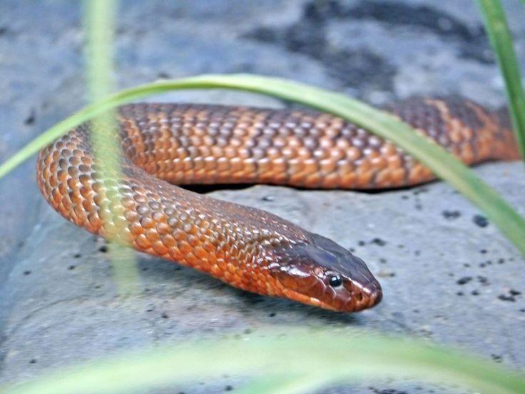 Fauna, Free Image, Free Photo, Australian Snake, Animal, Zoo