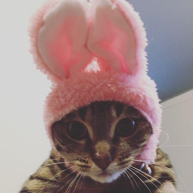うさきな #猫 #ネコ #cat #catstagram #猫スタグラム #ネコスタグラム #猫部 #猫バカ #愛猫 #猫好き #にゃんすたぐらむ #picneko #ピクネコ #キジトラ #キジトラ猫 #キジトラ部 #キジトラネコ #鍵尻尾 #うさ猫