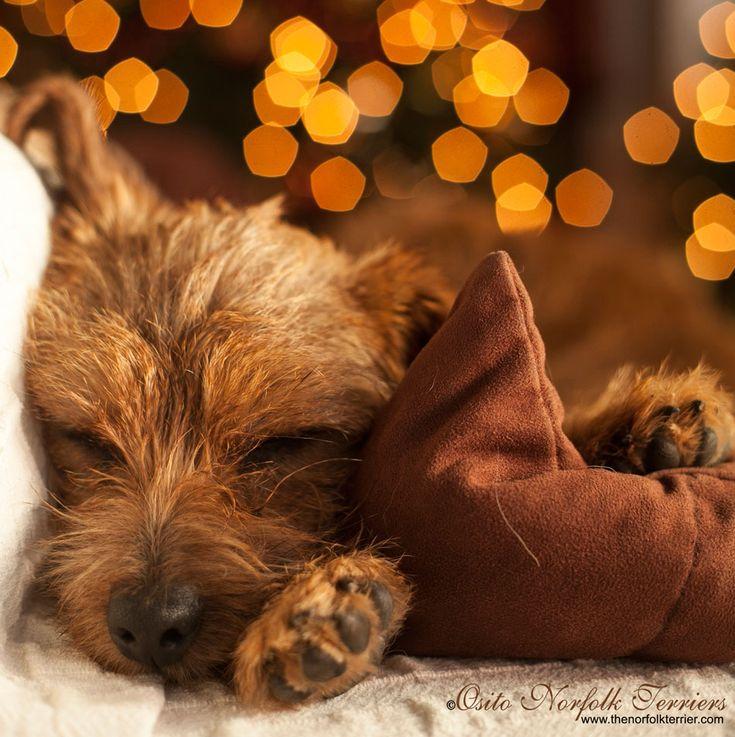 Dolly asleep on Christmas Day Osito Norfolk Terriers Norfolk Terrier Criador España Breeder in Spain www.thenorfolkterrier.com