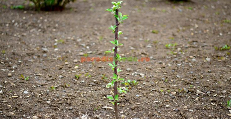 O lucrare EXTREM de importantă la pomi, în primul an de la plantare | Paradis Verde