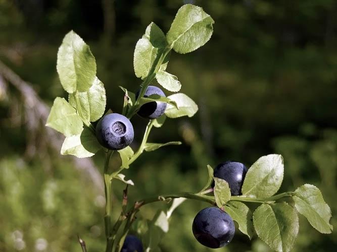 Mustikka, Vaccinium myrtillus - Kukkakasvit - LuontoPortti