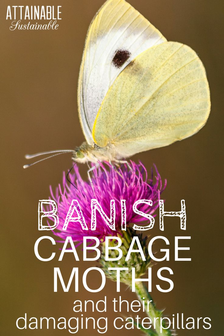 Cabbage whites are drawn to brassicas (cabbage, cauliflower, broccoli, bok choy, kale...). A single caterpillar can decimate a young plant. Here's how to get rid of cabbage worms in your garden.