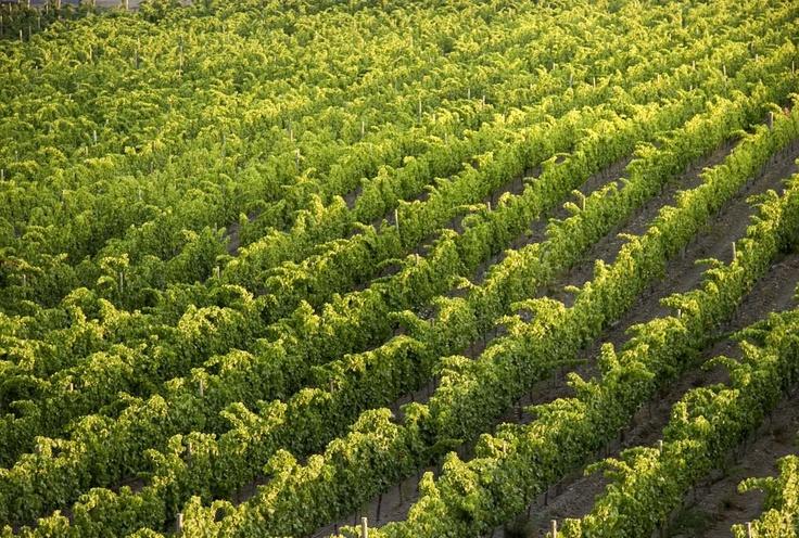 CELLER MARTÍN FAIXÓ - The first ones in recovering a tradition: the vineyard in Cadaqués. / 42 ha de superfície situades entre els termes del Port de la Selva, Roses i Cadaqués; les seves vinyes plantades sobre travesseres amb sòl de llicorella lluiten contra la tramontana.