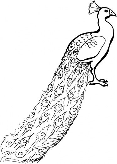 Realistic Peacock Coloring Page Peacock with tail down