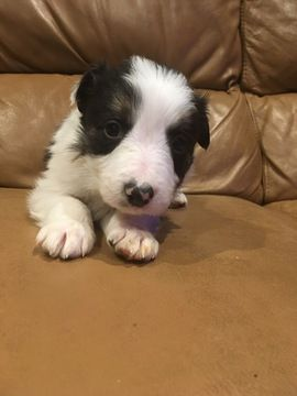 Litter of 9 Border Collie puppies for sale in EAGLE MOUNTAIN, UT. ADN-59999 on PuppyFinder.com Gender: Male. Age: 6 Weeks Old